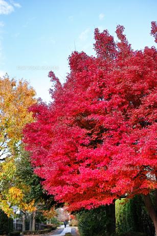 真っ赤に色づいたモミジの街路樹の写真素材 [FYI01225818]