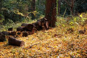 銀杏の木の下にある丸太の写真素材 [FYI01225820]