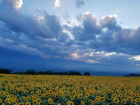 ひまわり畑の写真素材 [FYI01225891]