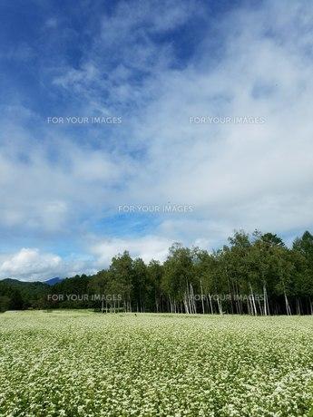 開田高原の蕎麦畑の写真素材 [FYI01225895]