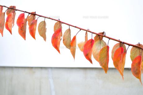 白壁の前の紅葉した複数の葉の写真素材 [FYI01226040]