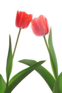 赤とピンクのチューリップの写真素材 [FYI01226536]