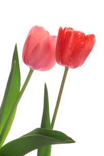 赤とピンクのチューリップの写真素材 [FYI01226537]