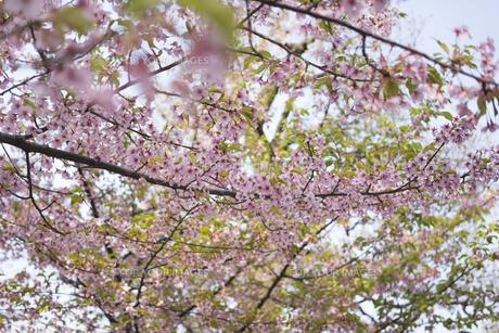 京都の東寺庭園のピンクな桜の写真素材 [FYI01226580]