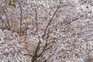 京都の東寺庭園の白い桜の写真素材 [FYI01226581]