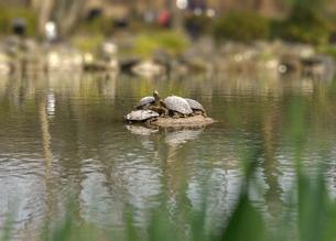 京都の庭園の池の中に一休みをしている亀の姿の写真素材 [FYI01226582]