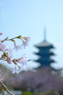 満開の桜の花の背景に五重塔が姿を現しているの写真素材 [FYI01226585]