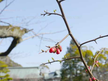 赤い実の写真素材 [FYI01226748]
