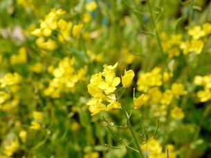 菜の花の写真素材 [FYI01226749]