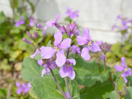 紫の花の写真素材 [FYI01226756]