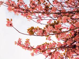 八重桜 「関山」 Sakura Cherry Blossom 「Sekiyama」「kanzan」の写真素材 [FYI01226832]
