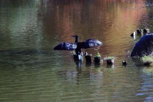 陽を浴びる水鳥の写真素材 [FYI01226915]