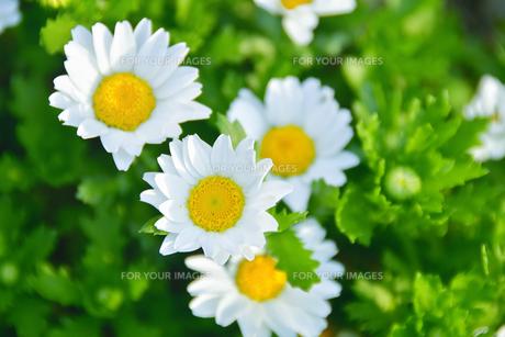 白い花の写真素材 [FYI01226923]