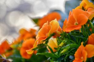 春の花の写真素材 [FYI01226924]