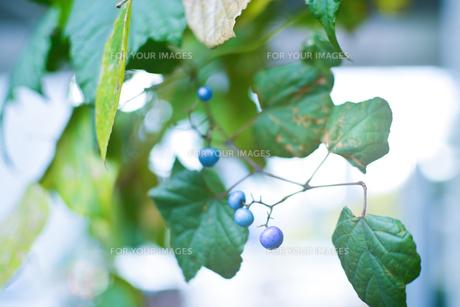 草の実の写真素材 [FYI01226937]