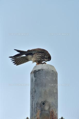 宮古島/捕食中のトンビの写真素材 [FYI01227250]