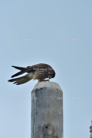 宮古島/捕食中のトンビの写真素材 [FYI01227261]