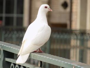白い鳩 White dove pigeonの写真素材 [FYI01227277]