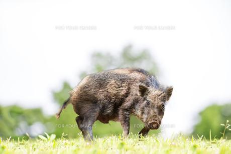 緑地でカメラ目線で威嚇する日本猪。年賀、2019年、干支、イノシシ、年賀状イメージの写真素材 [FYI01227366]