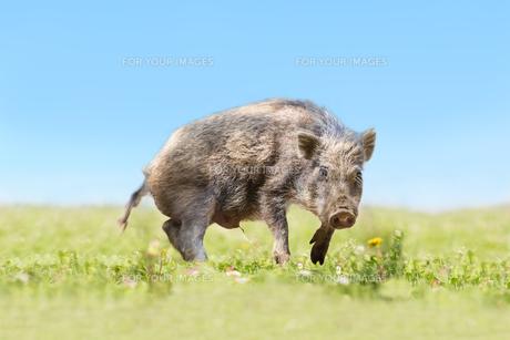 緑地でカメラ目線で威嚇する日本猪。年賀、2019年、干支、イノシシ、年賀状イメージの写真素材 [FYI01227367]