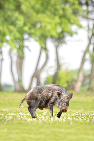 緑地でカメラ目線で威嚇する日本猪。年賀、2019年、干支、イノシシ、年賀状イメージの写真素材 [FYI01227368]
