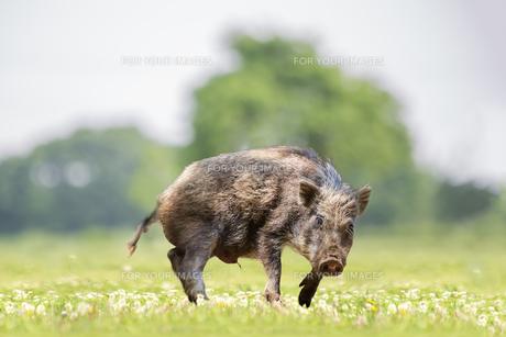 緑地でカメラ目線で威嚇する日本猪。年賀、2019年、干支、イノシシ、年賀状イメージの写真素材 [FYI01227369]