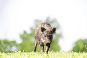 緑地でカメラ目線で歩み寄る日本猪。年賀、2019年、干支、イノシシ、年賀状イメージの写真素材 [FYI01227380]