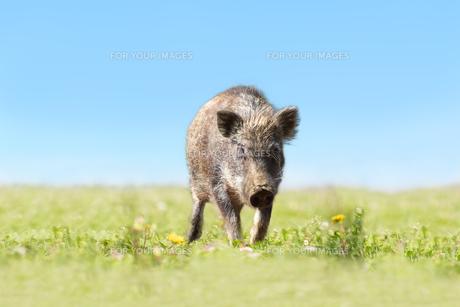 緑地でカメラ目線で歩み寄る日本猪。年賀、2019年、干支、イノシシ、年賀状イメージの写真素材 [FYI01227381]