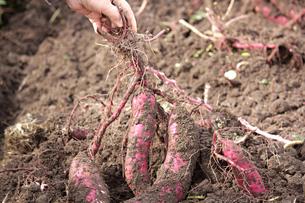 サツマイモの収穫の写真素材 [FYI01227409]