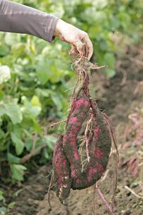 サツマイモの収穫の写真素材 [FYI01227410]
