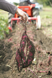 サツマイモの収穫の写真素材 [FYI01227411]