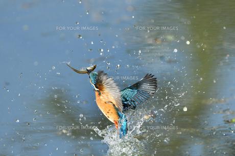 カワセミの捕食の写真素材 [FYI01227417]
