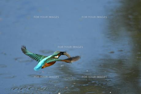 カワセミの捕食の写真素材 [FYI01227419]