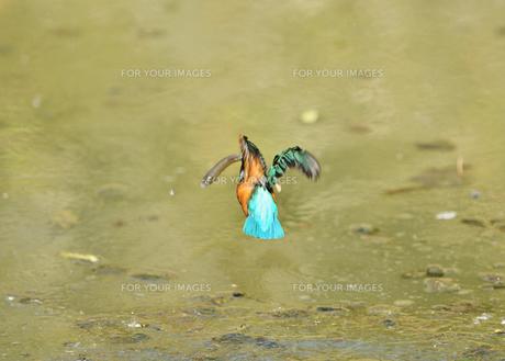 カワセミの捕食の写真素材 [FYI01227420]