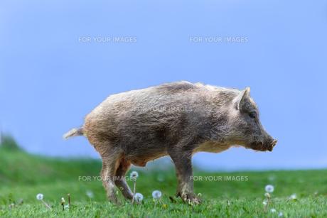 草地の横姿の子イノシシ1頭。正月、2019、年賀、干支、イノシシ、新年、正月、猪、イメージの写真素材 [FYI01227452]