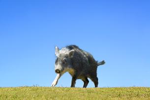 草地で威嚇するイノシシ1頭。正月、2019、年賀、干支、イノシシ、新年、正月、猪、イメージの写真素材 [FYI01227453]