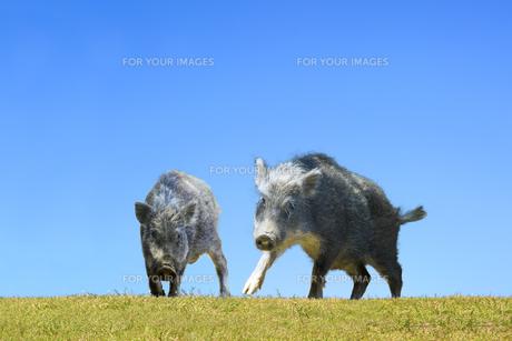 草地で威嚇する子イノシシ2頭。正月、2019、年賀、干支、イノシシ、新年、正月、猪、イメージの写真素材 [FYI01227454]