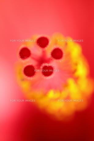赤色のハイビスカスの写真素材 [FYI01227463]