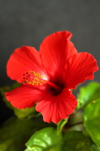 赤色のハイビスカスの写真素材 [FYI01227464]