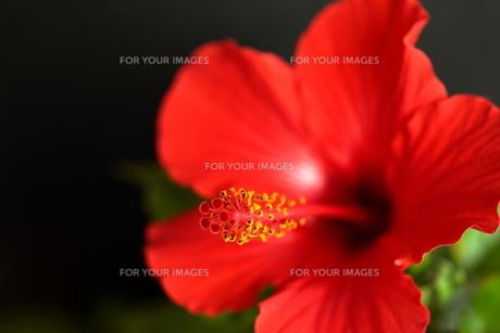 赤色のハイビスカスの写真素材 [FYI01227465]