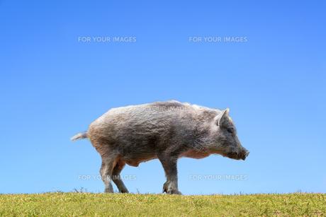 草地の子イノシシの横姿1頭。正月、2019、年賀、干支、イノシシ、新年、正月、猪、イメージの写真素材 [FYI01227476]