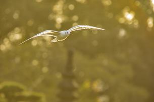 飛行中のユリカモメの写真素材 [FYI01227546]