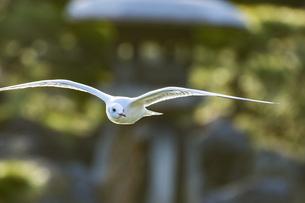 飛行中のユリカモメの写真素材 [FYI01227552]