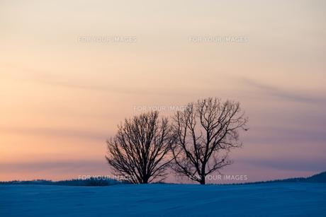 夕暮れの雪の丘と冬木立 美瑛町の写真素材 [FYI01227753]