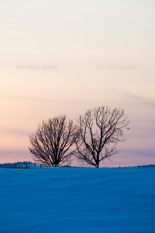 夕暮れの雪の丘と冬木立 美瑛町の写真素材 [FYI01227754]