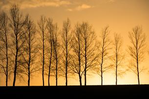 夕焼け空と冬枯れのシラカバ並木 美瑛町の写真素材 [FYI01227756]