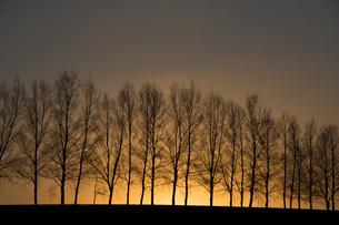 夕焼け空と冬枯れのシラカバ並木 美瑛町の写真素材 [FYI01227766]