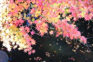 東京都北区 旧古河庭園の池と紅葉の写真素材 [FYI01228016]