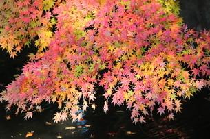 東京都北区 旧古河庭園の池と紅葉の写真素材 [FYI01228044]
