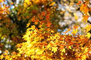 東京都北区 旧古河庭園の黄色いイチョウの写真素材 [FYI01228058]